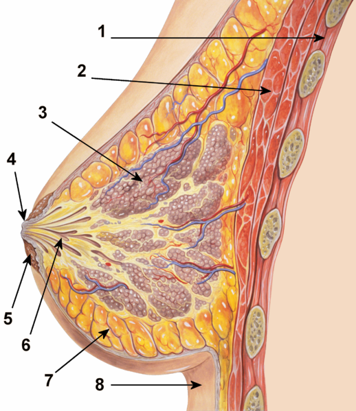 breast-anatomy[1]